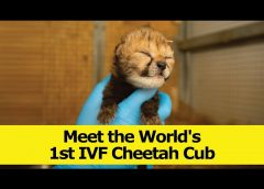 Meet The World's 1st IVF Cheetah Cubs